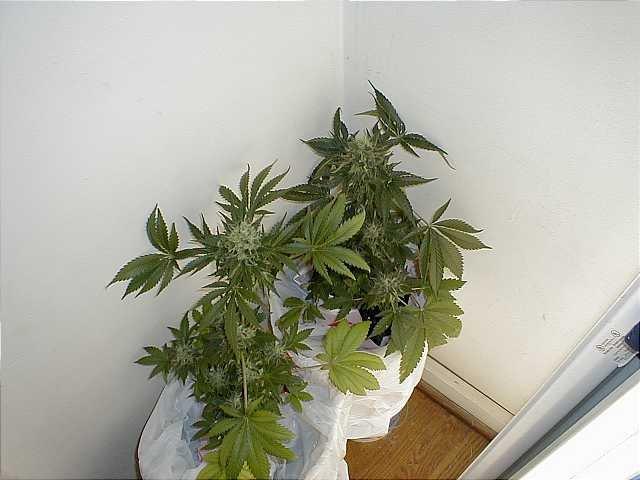 growing marijuana with fluorescent lights images. Black Bedroom Furniture Sets. Home Design Ideas